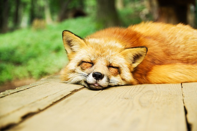 tired-fox