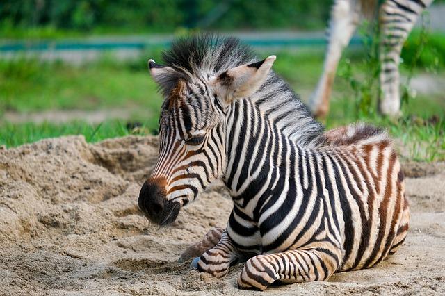 zebra-4402770_640